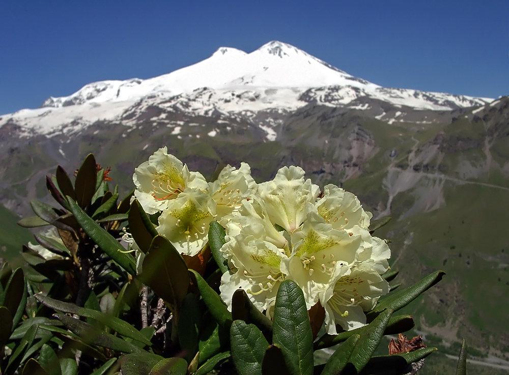 альпийская роза в косметике illyssia